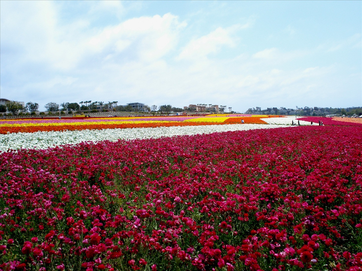 visit the flower fields of carlsbad ca drive the nation. Black Bedroom Furniture Sets. Home Design Ideas
