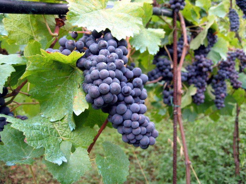 Fall Creek Vineyards
