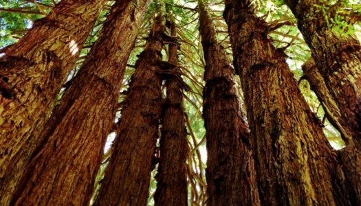 Biggest Trees to See in the US