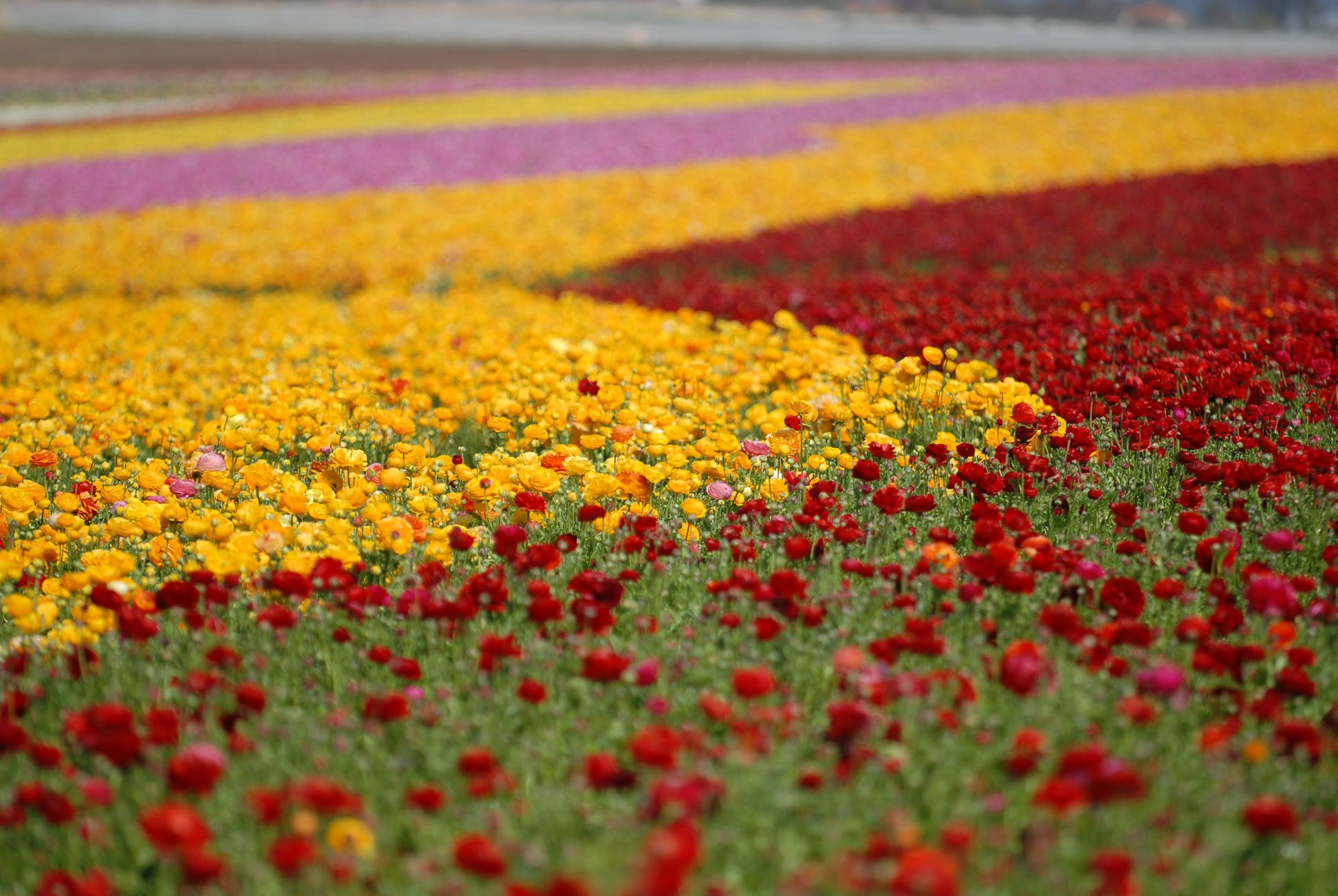 Visit The Flower Fields of Carlsbad CA