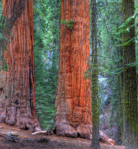 Redwoods in Sequoia National Park Near Visalia