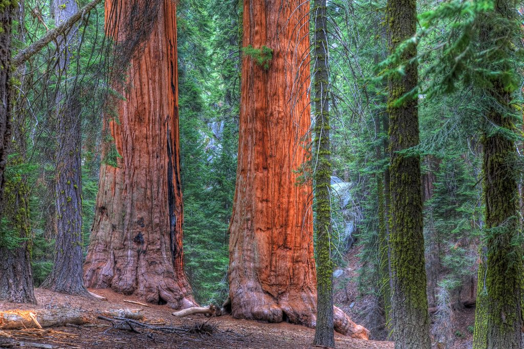 Redwoods in Sequoia National Park Near Visalia