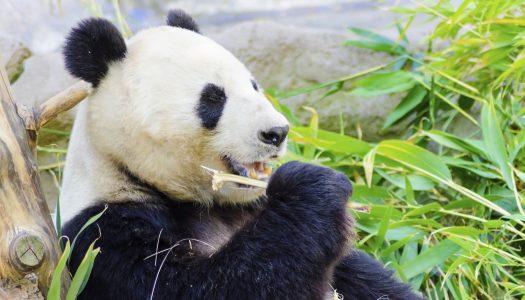 Zoos to See Pandas