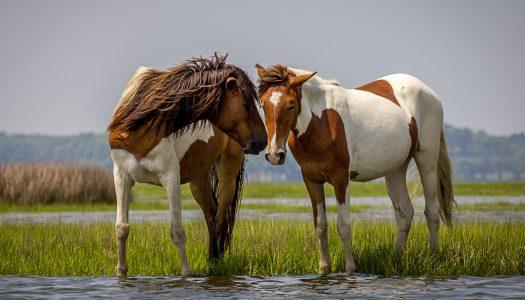 Chesapeake Bay Wild Horses
