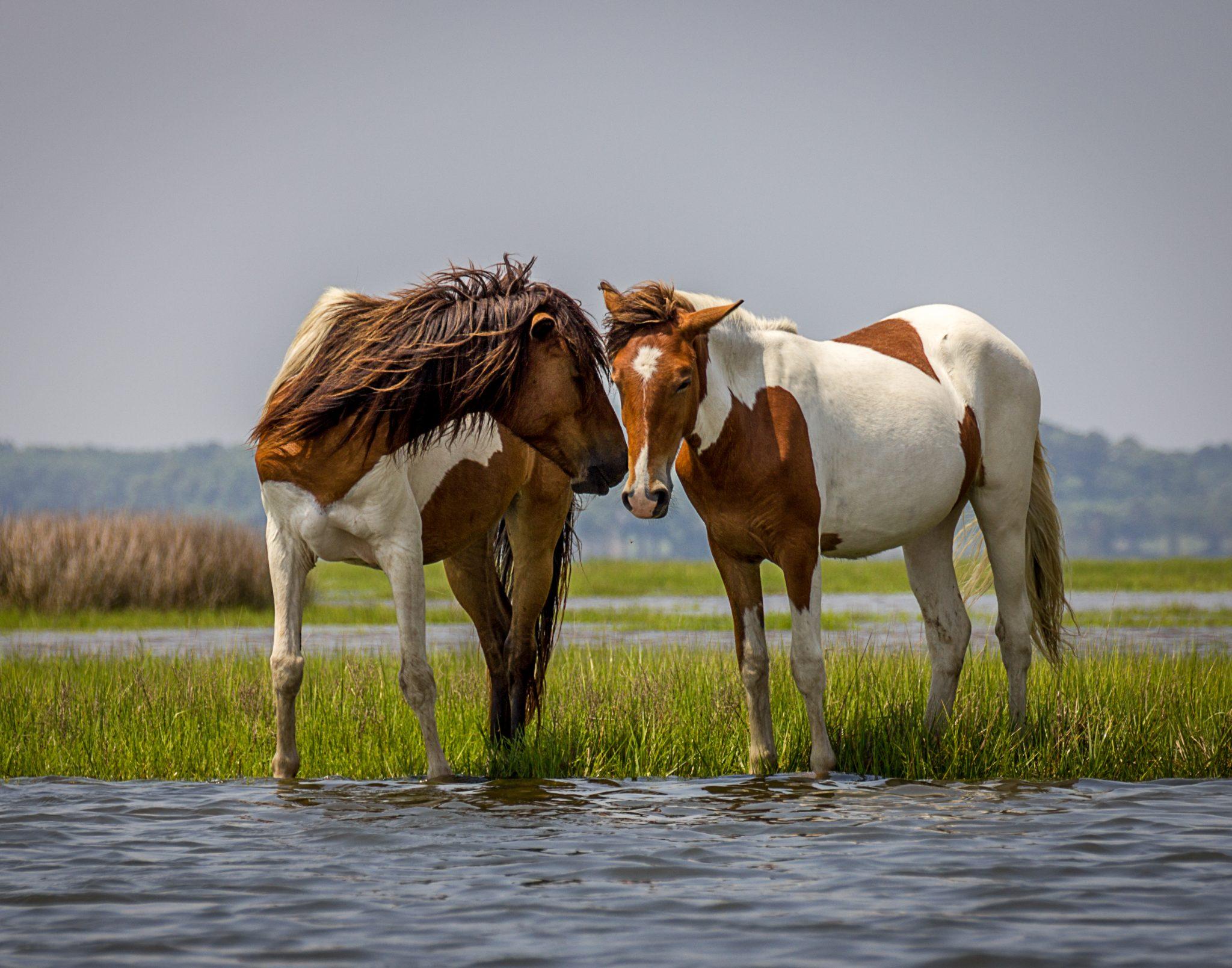 Chesapeake Bay Wild Horses Drive The Nation