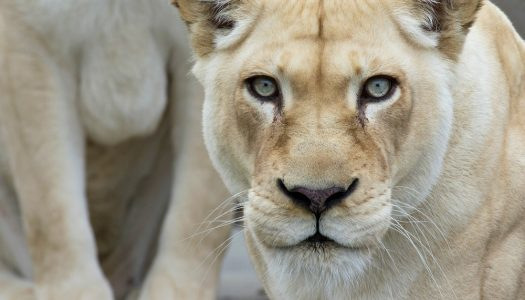 From Astrological to Zoological: 10 Must-Visit Zoos for Leos