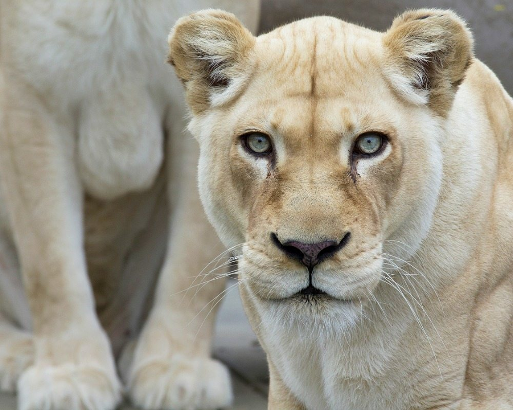 White Lion at Cincinnati Zoo