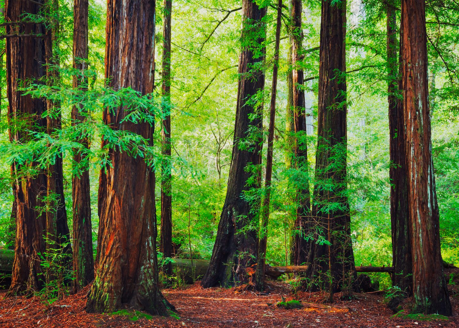 Redwood Trees in Forest, Northwest Rain Forest