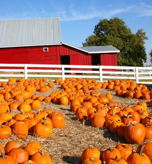 Field of Bright Orange Pumpkins and a Red Barn