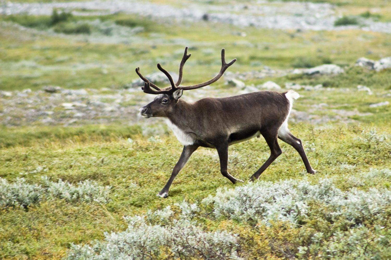 Strolling Reindeer