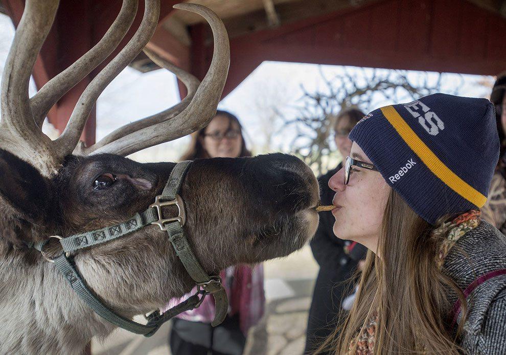 Woman Feeds Reindeer