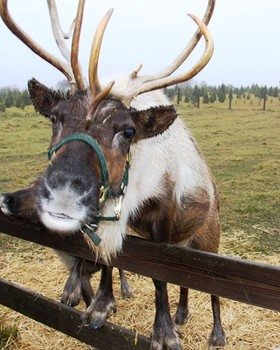 White and Brown Reindeer