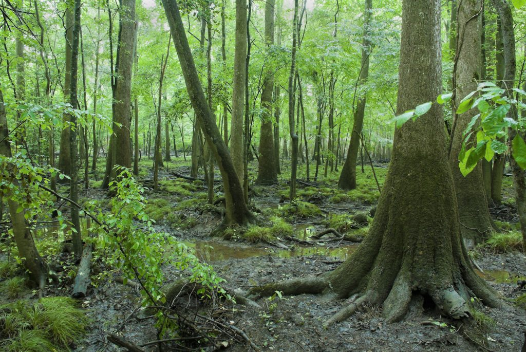 Congaree National Park Cypress Trees