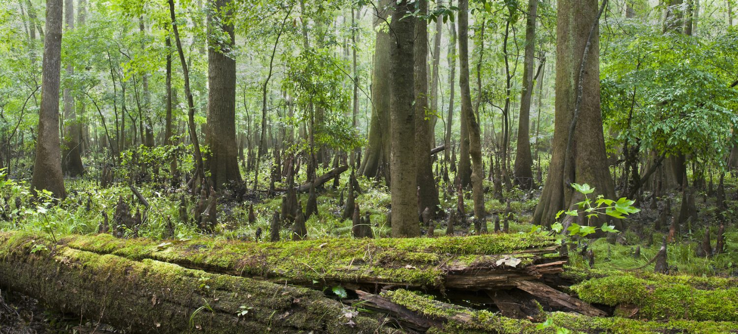 Congaree National Park Panoramic
