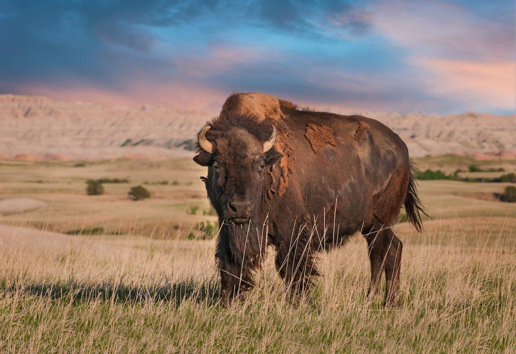 See Bison at Badlands National Park