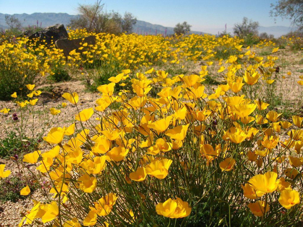 Yellow Flowers at Joshua Tree