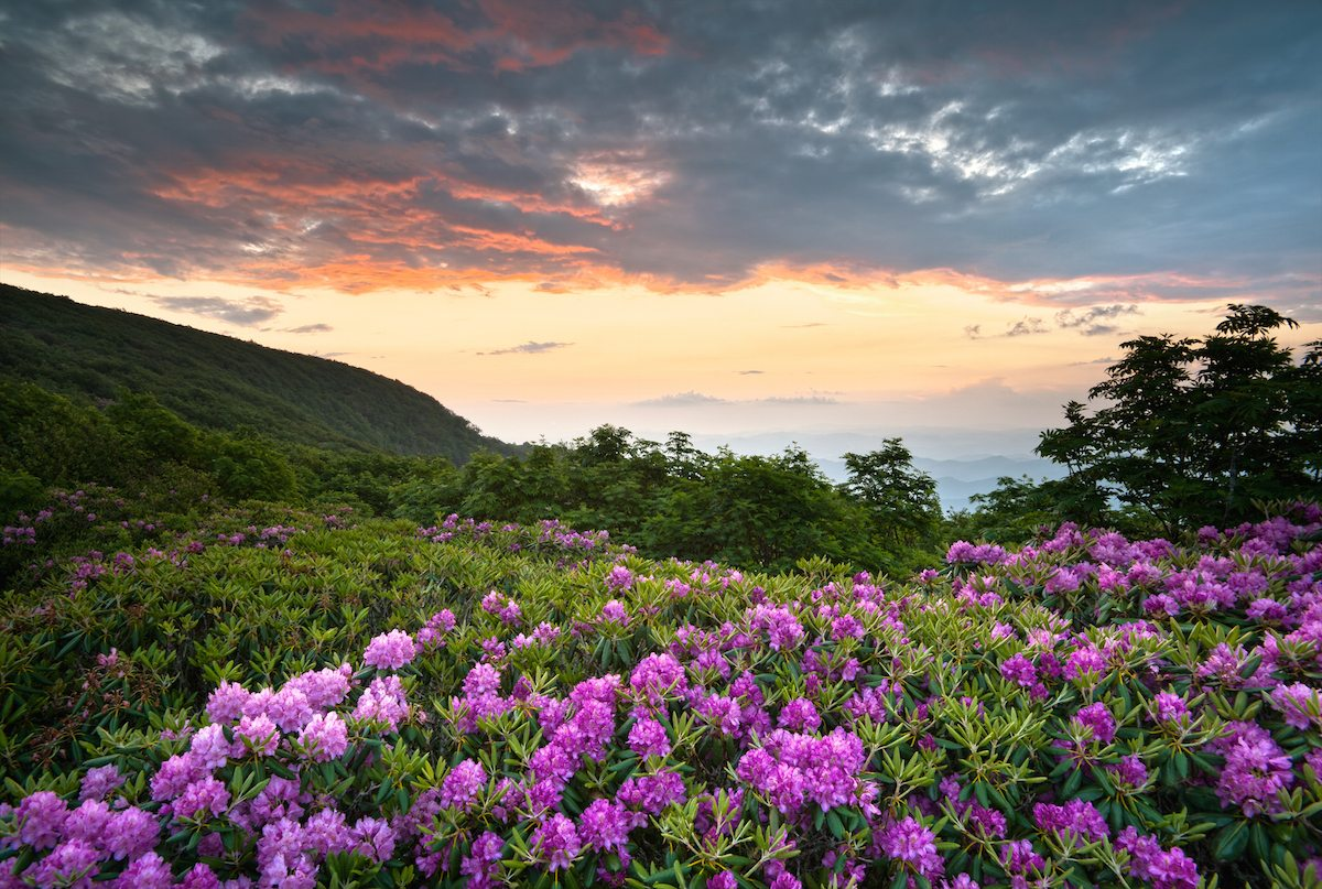 Blue Ridge Parkway Mountains Sunset Over Spring Rhododendron Flowers Blooms