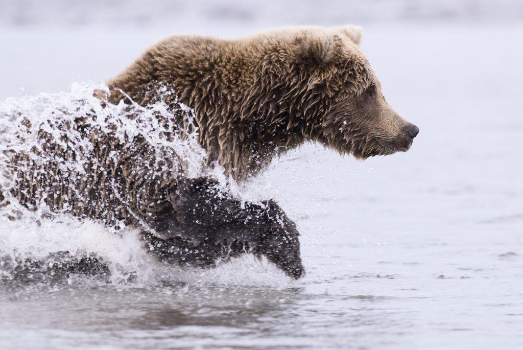 Coastal Brown Bear Running