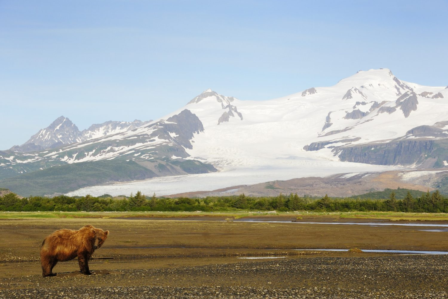 Bear at Katmai NP