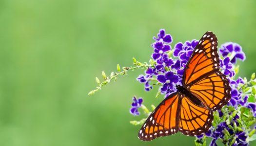 Festival of Butterflies