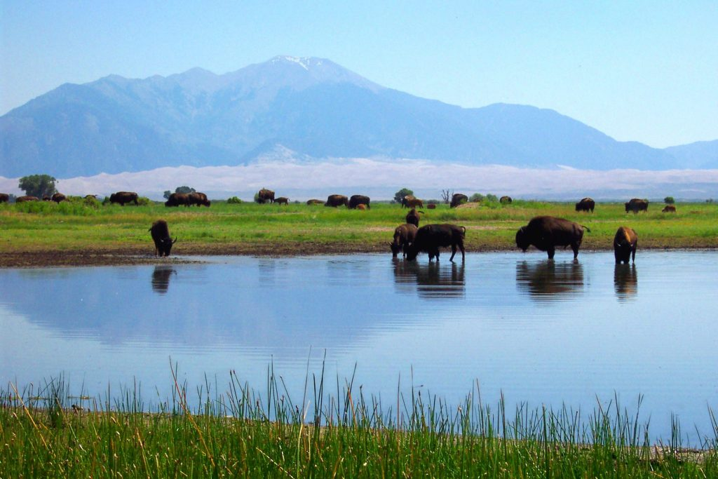 Bison with Sand Dunes and Mountains