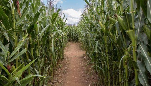 6 Corn Maze Adventures to Explore