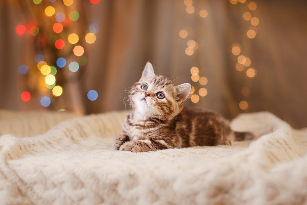 Christmas Lights and Adorable Kitten