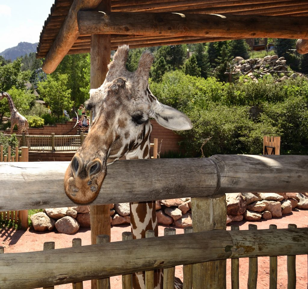 Friendly giraffe stops to say Hi at the Cheyenne Mountain Zoo.