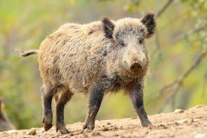 wild-hog-event