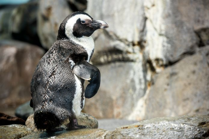 Monterey Bay Penguin