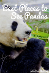 Panda eating grass