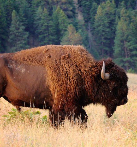 Buffalo Bison Missoula Montana