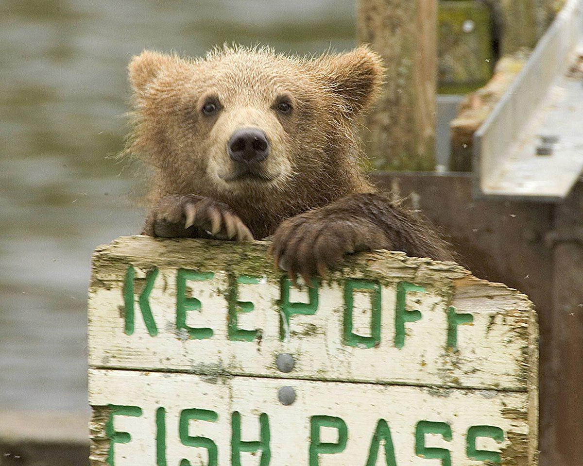 grizzly bear at Kodiak