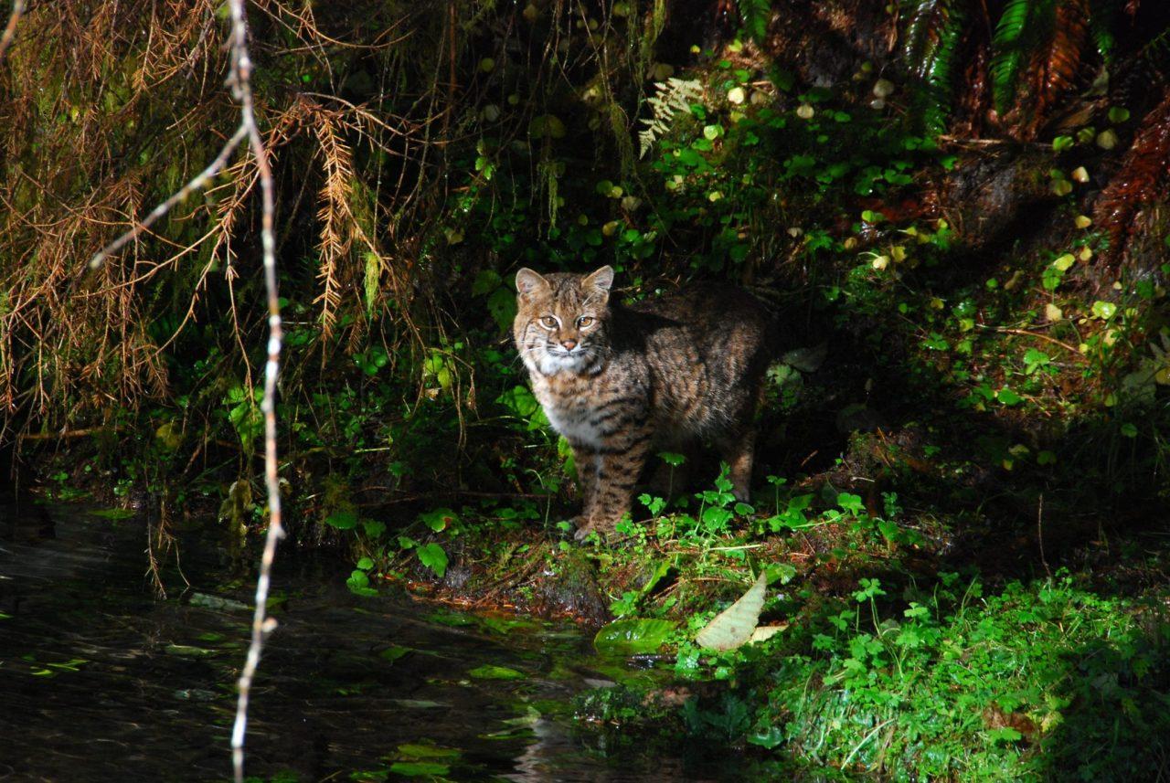bobcat at olympic national park