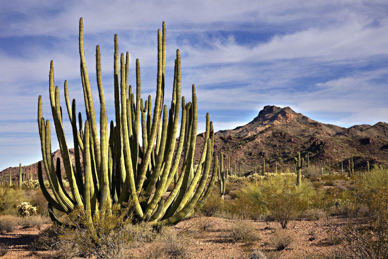Organ Pipe Cactus and Saguaros in Organ Pipe Cactus National Monument.