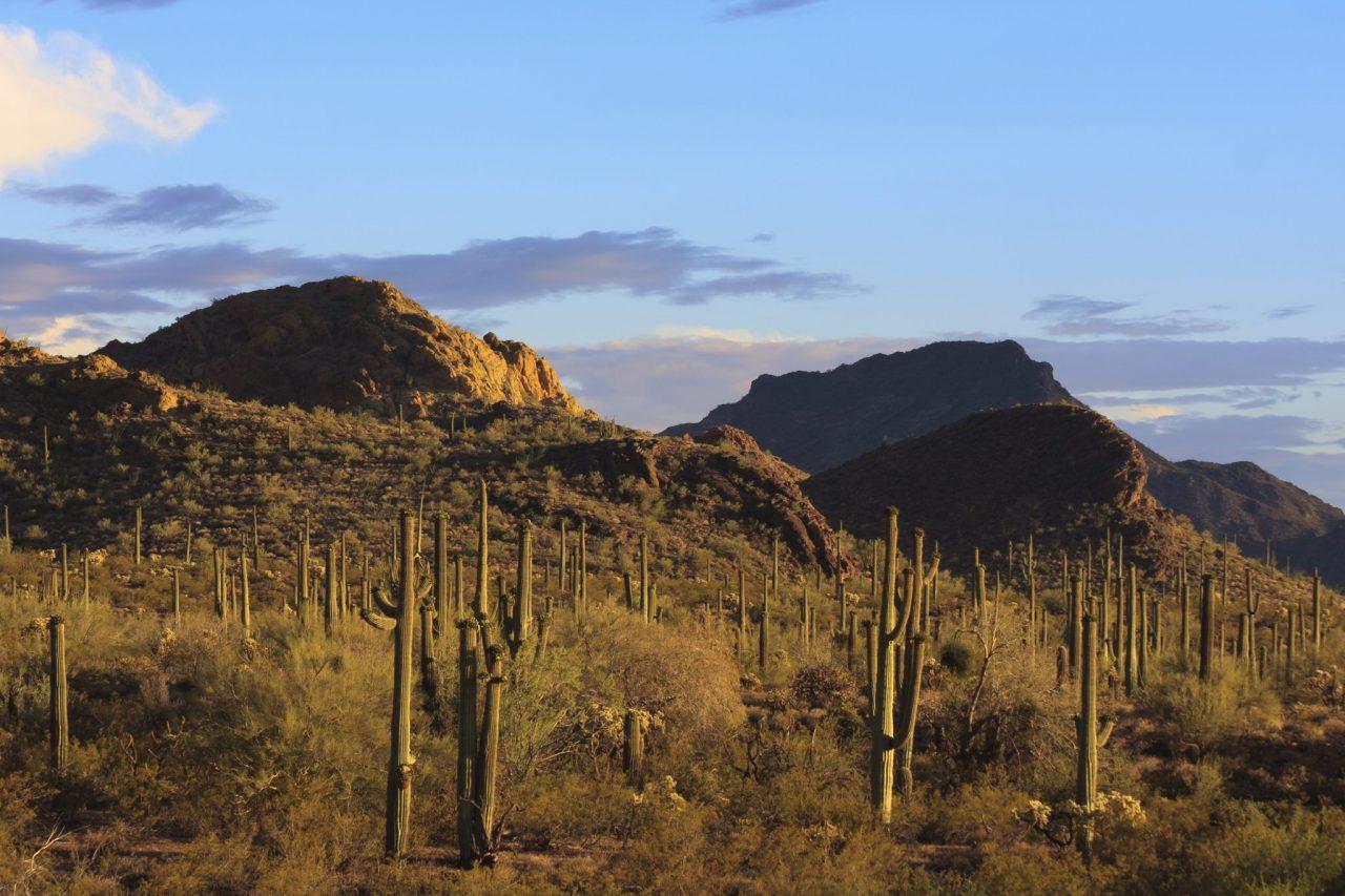 Saguaro cacti at Organ Pipe National Monument