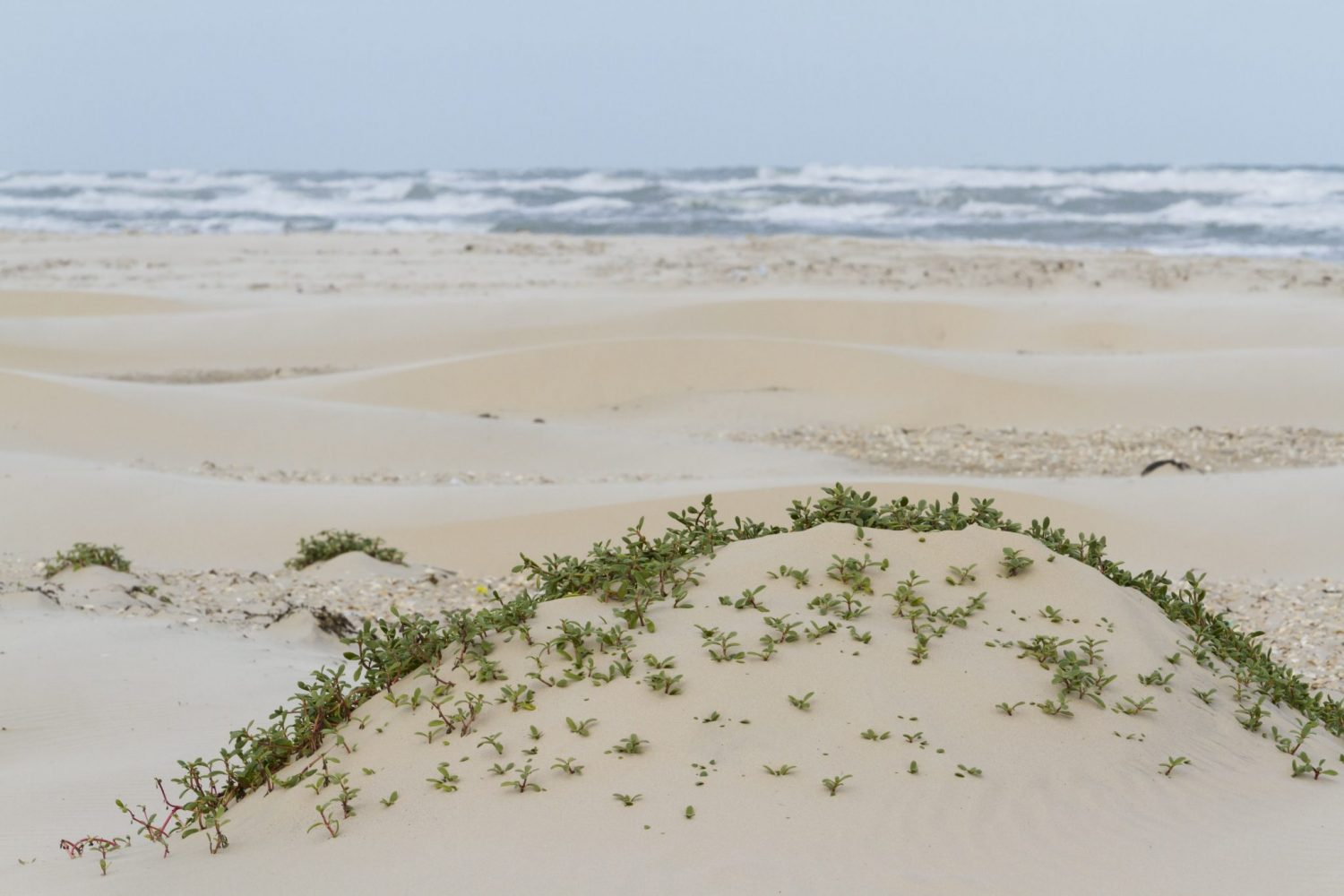 Coastal dunes of South Padre Island TX.