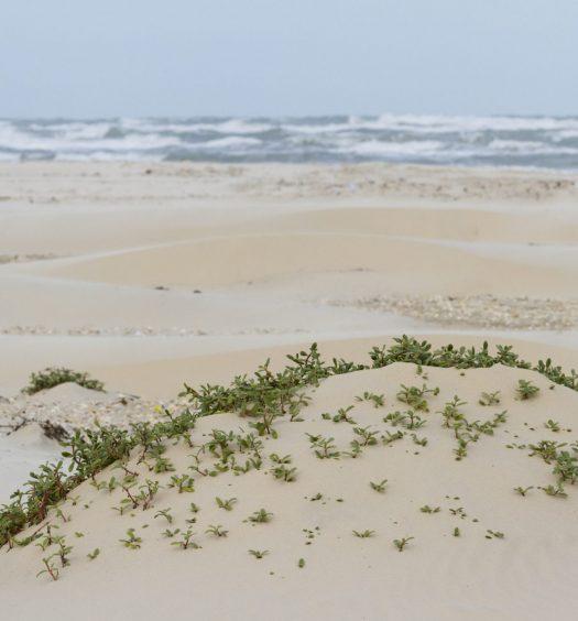 Coastal dunes of South Padre Island TX.