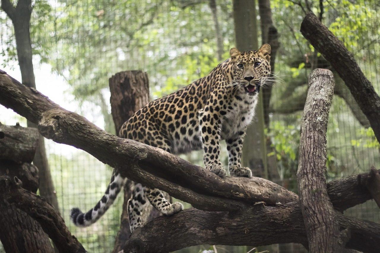 leopard - jacksonville zoo