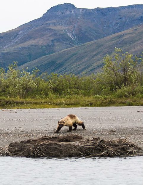 Wolverine_in_Gates_of_the_Arctic_NP