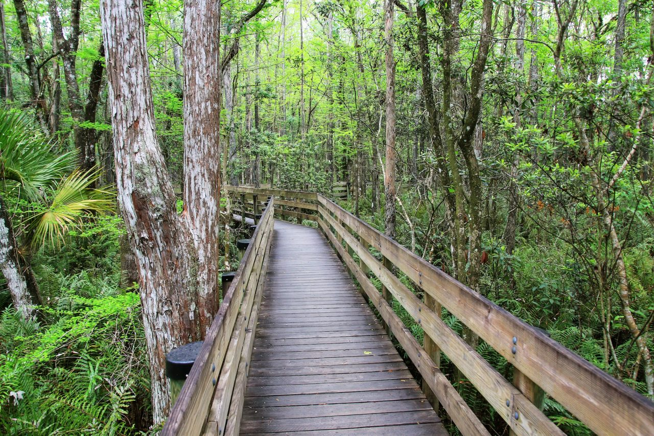 Boardwalk through cypress trees in Florida