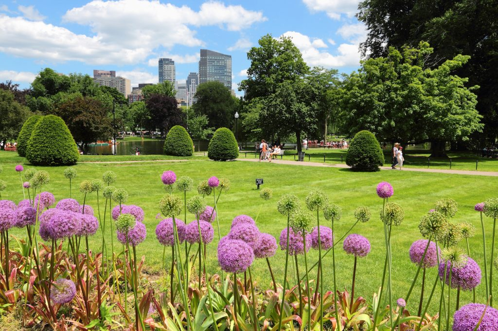 Close up of fuschia colored flowers in the Boston Public Garden , with a field, trees and tall buildings in the background