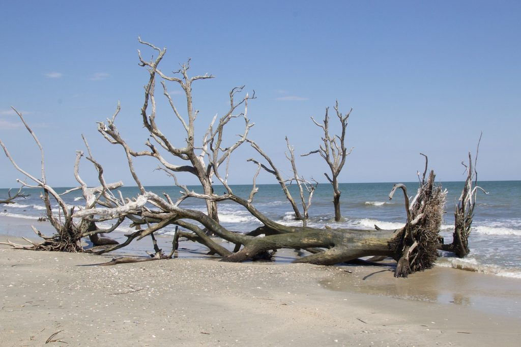 Big branch tree laying on its side on the beach in Edisto Island Bay, soft blue sky in the background