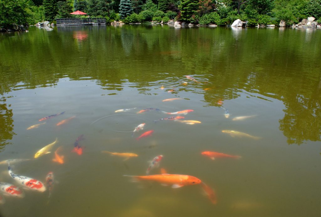 koi fish swimming in dark green point at Anderson Japanese Gardens