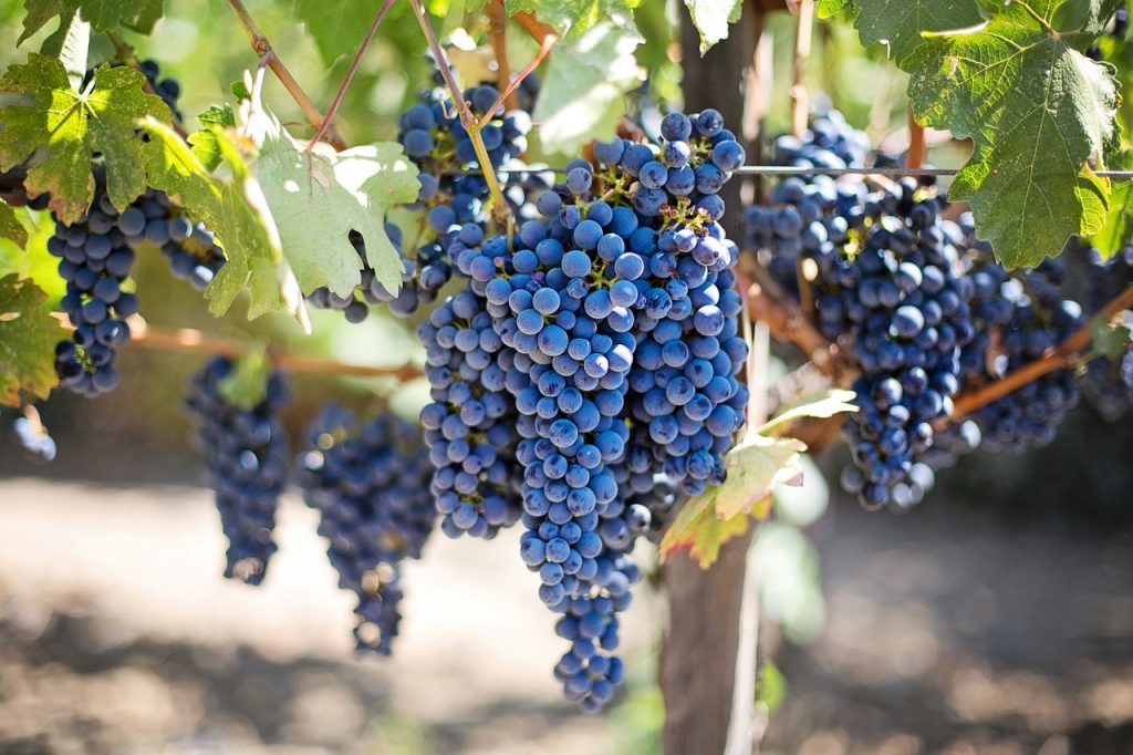 purple grapes hanging in a wine vineyard