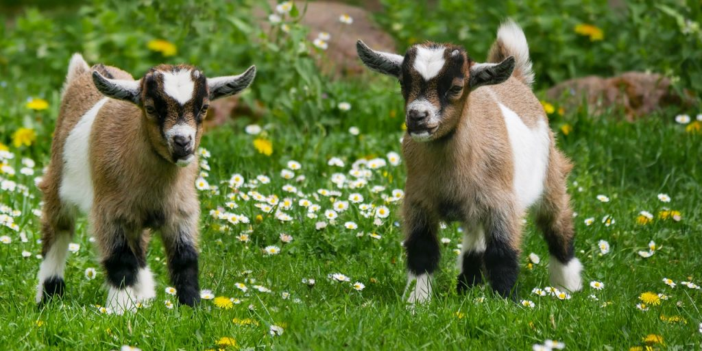 two baby goats in the grass