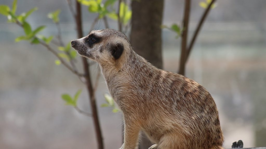 meerkat inside of a zoo, sitting in front of a tree, looking out
