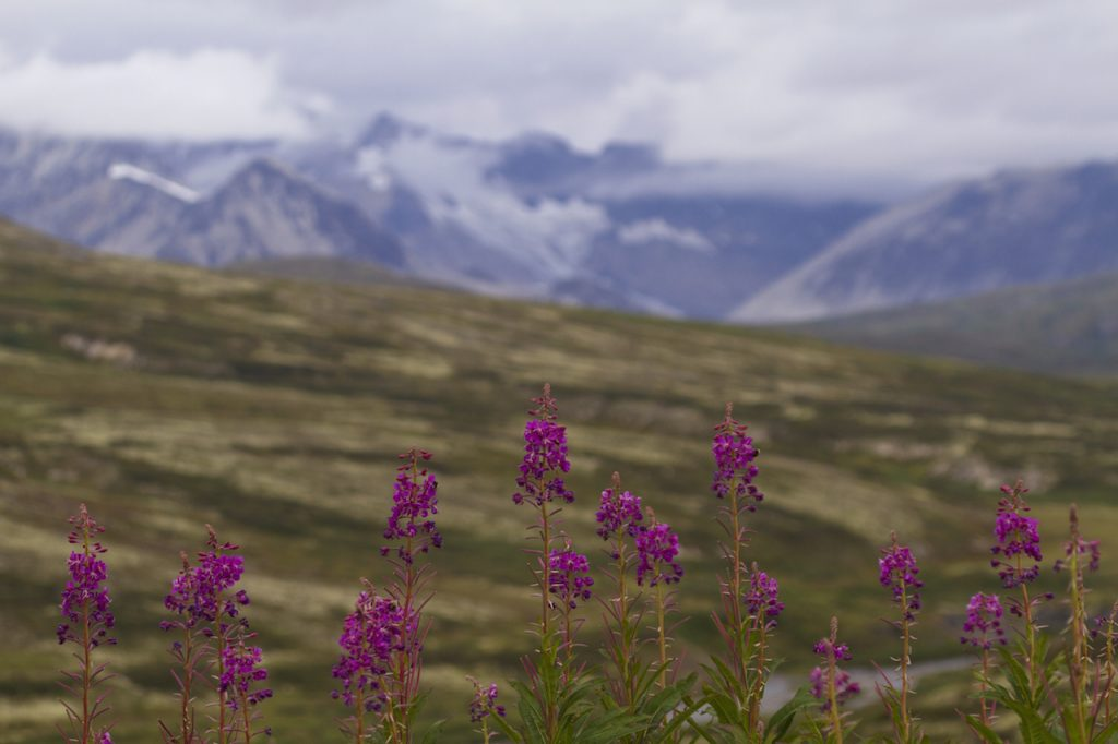 Selected focus on wildflowers in bloom along Haines Highway with snow and fog of St. Elias Mountain Range behind